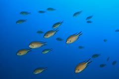 Atlantic damselfish Stock Photography