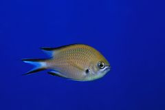 Atlantic damselfish Stock Photo