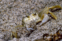 Atlantic Ghost Crab Stock Photography