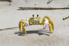 Atlantic ghost crab. (Ocypode quadrata) on the sand stock images
