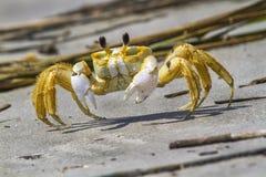Atlantic ghost crab. (Ocypode quadrata) on the sand royalty free stock photography