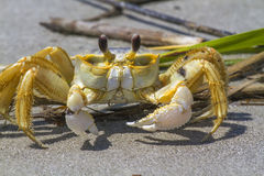 Atlantic ghost crab. (Ocypode quadrata) on the sand Royalty Free Stock Photo