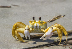 Atlantic ghost crab. (Ocypode quadrata) on the sand royalty free stock photo