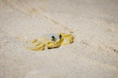 Atlantic ghost crab, Maria Farinha royalty free stock images