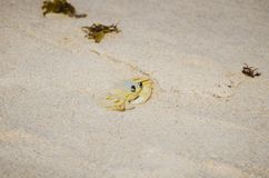 Atlantic ghost crab, Maria Farinha royalty free stock photos