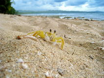 Atlantic ghost crab Ocypode quadrata Costa Rica Royalty Free Stock Photography