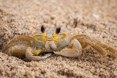 Atlantic Ghost Crab. An Atlantic Ghost Crab, Ocypode quadrata, peeks out of its burrow Stock Photos