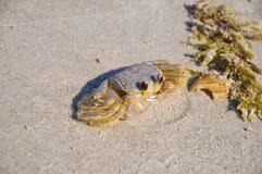 Atlantic ghost crab - Ocypode quadrata sand crab - sitting on the beach in Florida.  Stock Images