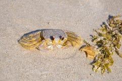 Atlantic ghost crab - Ocypode quadrata sand crab - sitting on beach sand on a bright sunny day. On Cocoa Beach, Florida Royalty Free Stock Photo