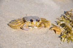 Atlantic ghost crab - Ocypode quadrata sand crab - sitting on beach sand on a bright sunny day in Cocoa Beach, Florida stock photos