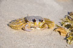 Atlantic ghost crab - Ocypode quadrata sand crab - sitting on beach sand on a bright sunny day Cocoa Beach, Florida. Atlantic ghost crab - Ocypode quadrata sand Stock Images