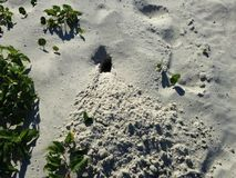 Atlantic Ghost Crab (Ocypode Quadrate) Burrow Entrance in Sand Dunes. Stock Images