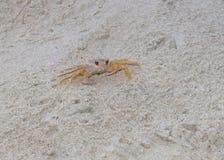 Atlantic Ghost Crab Stock Image