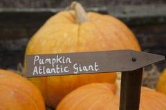 Atlantic Giant Pumpkins Royalty Free Stock Images
