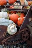 Atlantic Giant Pumpkins (Cucurbita maxima) on rustic display Stock Photography