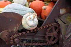 Atlantic Giant Pumpkins (Cucurbita maxima) on rustic display Stock Photos