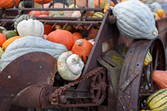 Atlantic Giant Pumpkins (Cucurbita maxima) on rustic display Royalty Free Stock Images