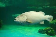 Atlantic goliath grouper Stock Images