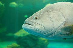 Atlantic goliath grouper Royalty Free Stock Photos