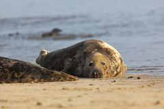 Atlantic grey seal on the beach stock photography