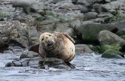 Atlantic Grey Seal basking in Farne Islands Royalty Free Stock Photos