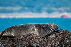 Atlantic grey seal basking in the sun royalty free stock photos