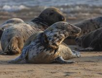 Atlantic grey seal on the beach stock image