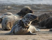 Atlantic grey seal on the beach royalty free stock image