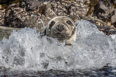 Atlantic Grey Seal Royalty Free Stock Photos