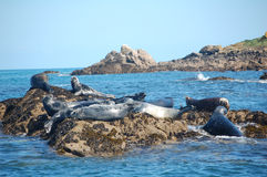 Atlantic grey seal group. Group of atlantic grey seals in scilly isles Stock Photo