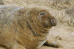 Atlantic Grey Seal Royalty Free Stock Image