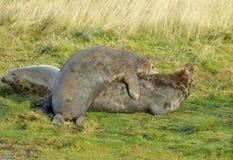 Atlantic Grey Seal Royalty Free Stock Images