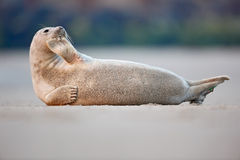Atlantic Grey Seal, Halichoerus grypus, detail portrait, at the sand beach, cute animal in the nature coast habitat, France Royalty Free Stock Image
