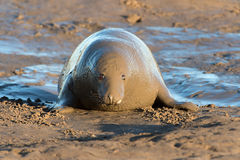 Atlantic Grey Seal (halichoerus grypus) Royalty Free Stock Photos