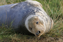 Atlantic Grey Seal Royalty Free Stock Photography