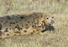 Atlantic Grey Seal Stock Photo