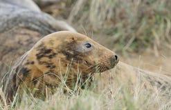 Atlantic Grey Seal Stock Images