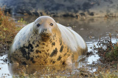 Atlantic Grey Seal Stock Image