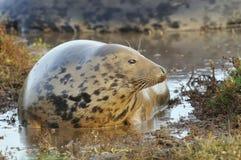 Atlantic Grey Seal Royalty Free Stock Photography