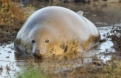 Atlantic Grey Seal Royalty Free Stock Photo
