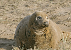 Atlantic Grey Seal Royalty Free Stock Images