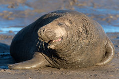 Atlantic Grey Seal (halichoerus grypus) Stock Photography