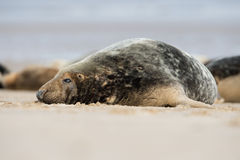 Atlantic Grey Seal (Halichoerus Grypus) Stock Image