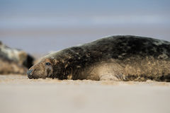 Atlantic Grey Seal (Halichoerus Grypus) Royalty Free Stock Photo
