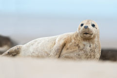 Atlantic Grey Seal (Halichoerus Grypus). Atlantic Grey Seal Pup on sandy beach Stock Images