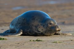 Atlantic Grey Seal Halichoerus grypus royalty free stock photos