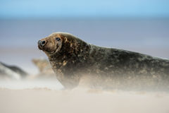 Atlantic Grey Seal (Halichoerus Grypus) Royalty Free Stock Photography