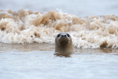 Atlantic Grey Seal (Halichoerus Grypus) Stock Photos