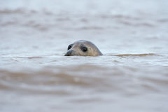 Atlantic Grey Seal (Halichoerus Grypus) Royalty Free Stock Image