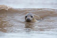 Atlantic Grey Seal (Halichoerus Grypus) Stock Image